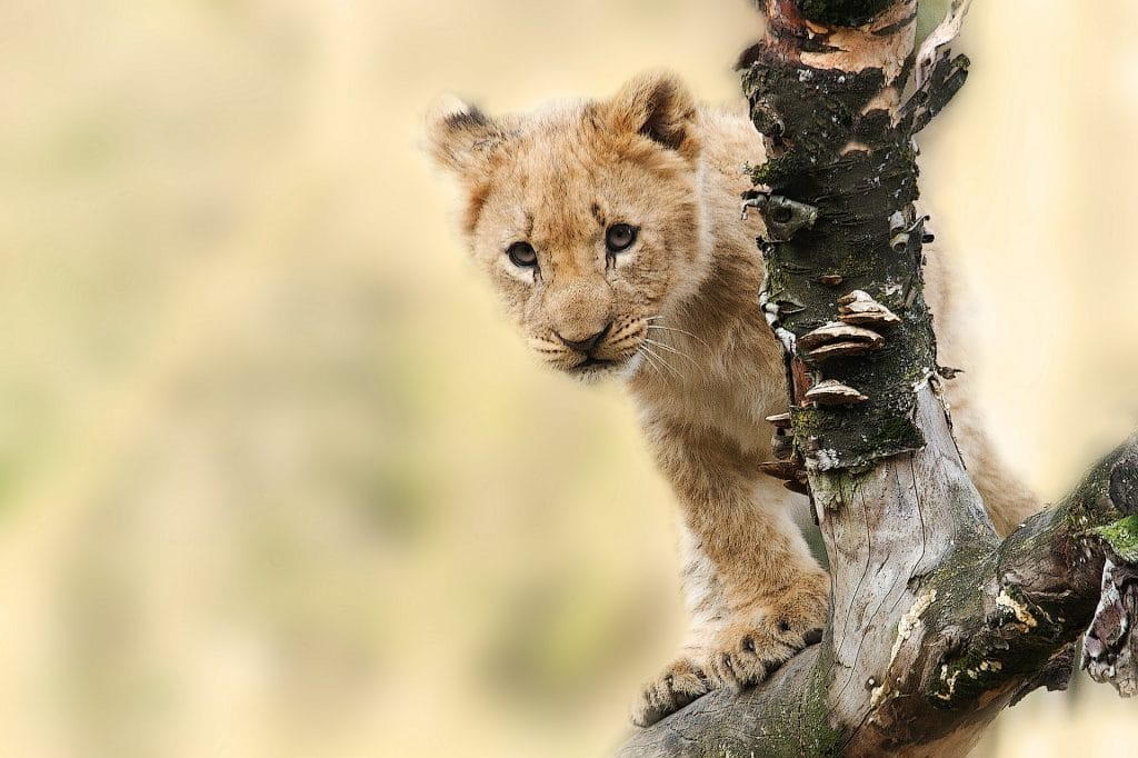 lion cub behind a branch