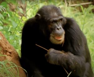 A chimpanzee using a tool